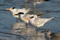 Royal Tern. 2015.2.8