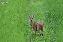 고라니 [Chinese water deer]