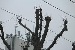 [20210408]안양 만안로 버즘나무 가로수들은  매년 봄 수난을 당한다.