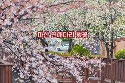 벚꽃, 그리고 반가운 봄비. 마산 연애다리 벚꽃