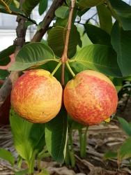 구아바-우수한 신품종 레드리(Ledlee) 열매 보세요.