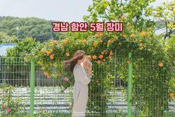 계절의 여왕 5월, 거리에서 만난 예쁜 장미, 함안 골목 여행