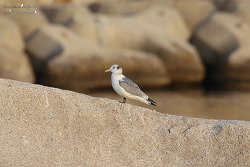 세가락갈매기 [Black-legged Kittiwake]