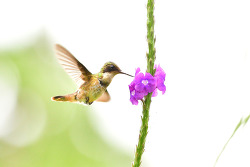 White-crested Coquette, 8cm, Endemic to CR & West Panama