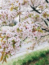 탄천 벚꽃 나들이~