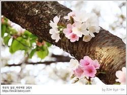 [적묘의 부산]2021년 벚꽃만개,이시국꽃놀이,벚꽃인증유감,온천천카페거리,벚꽃명소,음주금지,흡연금지
