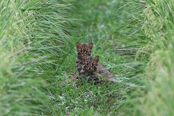 삵 [Leopard cat]