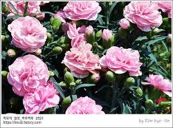 [적묘의 부산]석대, 꽃시장,봄,카네이션, 카라, 석대 화훼 단지