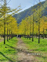강원도 홍천 은행나무숲