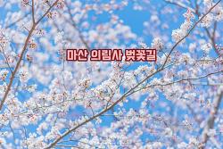 사람 하나 없는 조용하고 예쁜 벚꽃길, 마산 의림사 벚꽃