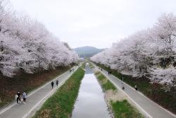 여의천 벚꽃