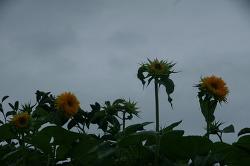 해바라기꽃