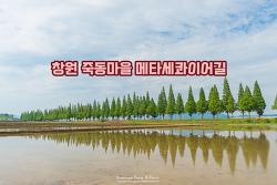 창원 죽동마을 메타세쿼이아 길, 초록의 싱그러움이 가득하다