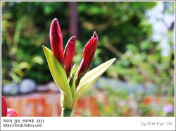 [적묘의 사진] 붉은 꽃,아마릴리스,Amaryllis,구근,독성,비오기 전후