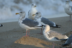 큰재갈매기 [Slaty-backed Gull]