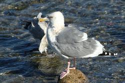 재갈매기 [Vega Gull]