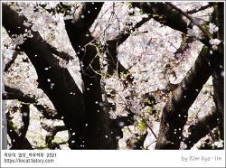 [적묘의 부산]벚꽃엔딩,주말비,꽃이진다,달맞이길,온천천시민공원