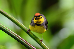 Collared Redstart, 13cm, Endemic to CR & W.Panama