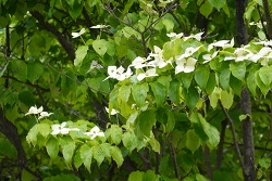 [20210513]하얀나비 떼로 앉아 춤추는 듯한 산딸나무