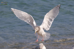 작은흰갈매기[Iceland Gull(Thayer's Gull)]