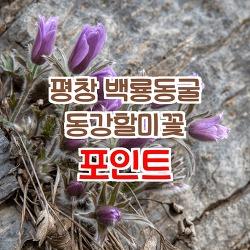 평창 백룡동굴 동강할미꽃