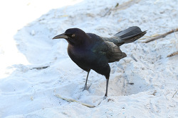 Boat-tailed Grackle. 2015.2.8
