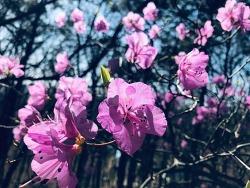 고양시 덕양구 / 진달래 / 개나리 / 폰카로 담은 봄꽃