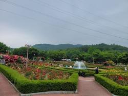 [인천가볼만한곳] 인천 장미명소 인천대공원 장미원