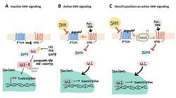 [2020 UGRP 우수연구] '인간유도만능줄기세포를 뇌세포 및 뇌오가노이드로 보다 손쉽고 저렴한 비용으로 분화시키는 방법의 개발'