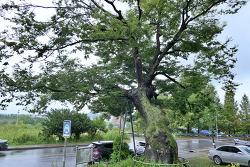 이포리 느티나무