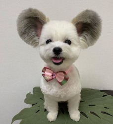 Dog With Giant Fluffy Ears Looks Just Like a Real-Life Mickey Mouse 미키 마우스와 똑같이 생긴 강아지