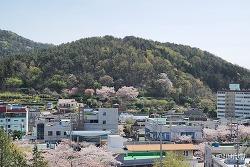 올해의 벚꽃