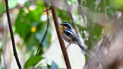 Rufous Chested Flycatcher, 11-12cm