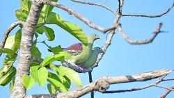 Grey-cheeked Green Pigeon, 25cm