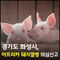 """경기도 화성시, 돼지열병 의심 농가 """"음성"""" 판정"""