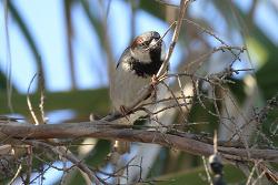 House Sparrow. 2015.2.8
