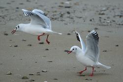붉은부리갈매기 [Black-headed Gull]