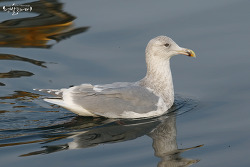 수리갈매기 [Glaucous-winged Gull]