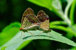 흰줄표범나비 의 사랑