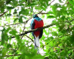 Resplendent Quetzal,36cm