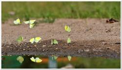 각시멧노랑나비