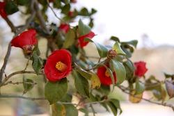능가사 동백꽃