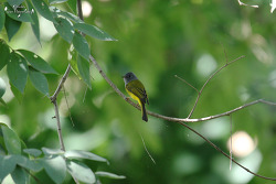 Grey-headed Canary-flycatcher [회색머리노랑딱새]