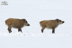 멧돼지 [Wild boar]