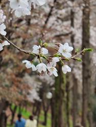 벚꽃 시대