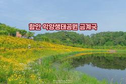 노랗게 물든 금계국 꽃길, 그냥 걷기만 해도 좋아! 함안 악양생태공원