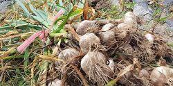 항암마늘이라 불리우는 홍산 마늘 효능과 판매