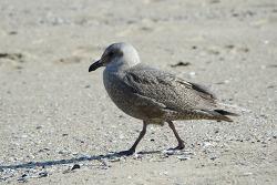 수리갈매기 [Glaucous-winged Gull]
