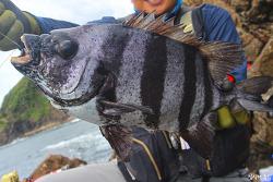 대한민국에서 명실상부 최고 생선회! 돌돔과 강담돔
