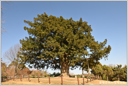 충남 서산 여미리비자나무